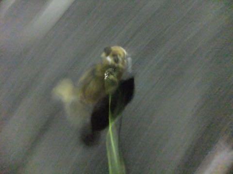 チワワトリミング文京区フントヒュッテチワワサマーカット画像ペットホテル東京ドッグホテル様子おさんぽ犬ホテル料金hundehutte駒込_66.jpg