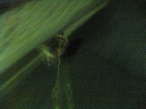 チワワトリミング文京区フントヒュッテチワワサマーカット画像ペットホテル東京ドッグホテル様子おさんぽ犬ホテル料金hundehutte駒込_67.jpg
