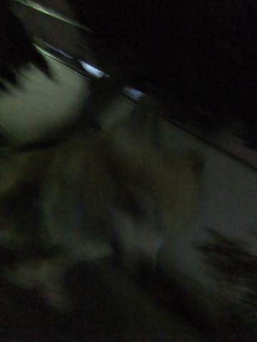 チワワトリミング文京区フントヒュッテチワワサマーカット画像ペットホテル東京ドッグホテル様子おさんぽ犬ホテル料金hundehutte駒込_78.jpg