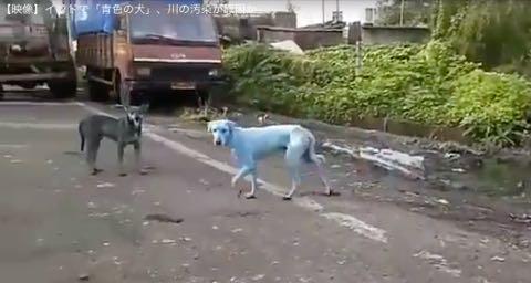 インドで「青色の犬」、川の汚染が原因か 画像 ニュース 1.jpg