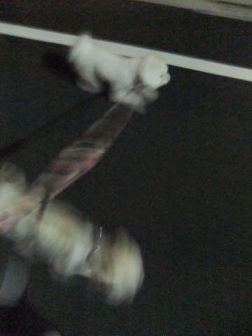 ビションフリーゼトリミング東京フントヒュッテ駒込ビショントリミングサロン都内ビションフリーゼトリミング画像ビションフリーゼ丸く文京区hundehutte_137.jpg