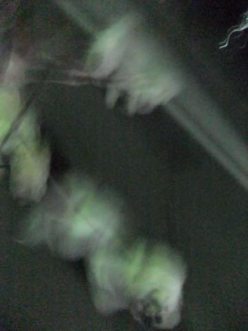 ビションフリーゼトリミング東京フントヒュッテ駒込ビショントリミングサロン都内ビションフリーゼトリミング画像ビションフリーゼ丸く文京区hundehutte_139.jpg
