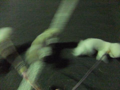 ビションフリーゼトリミング東京フントヒュッテ駒込ビショントリミングサロン都内ビションフリーゼトリミング画像ビションフリーゼ丸く文京区hundehutte_141.jpg