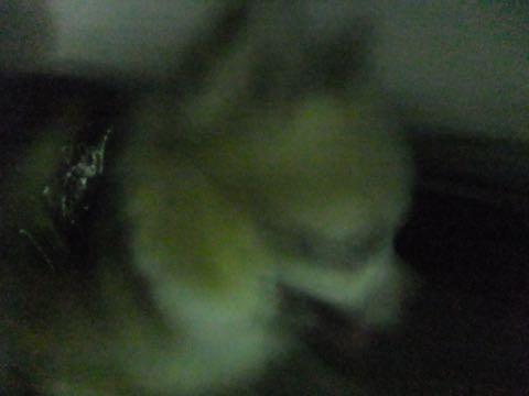 チワワトリミング文京区フントヒュッテチワワサマーカット画像ペットホテル東京ドッグホテル様子おさんぽ犬ホテル料金hundehutte駒込_107.jpg