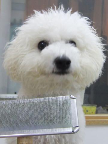 ビションフリーゼフントヒュッテこいぬ画像ビションフリーゼ子犬社会化性格血統チャンピオン犬東京ビションメス関東かわいいビションおとこのこ文京区出産情報ビション募集_964.jpg
