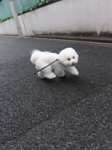 ビションフリーゼフントヒュッテこいぬ画像ビションフリーゼ子犬社会化性格血統チャンピオン犬東京ビションメス関東かわいいビションおとこのこ文京区出産情報ビション募集_966.jpg