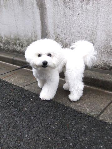 ビションフリーゼフントヒュッテこいぬ画像ビションフリーゼ子犬社会化性格血統チャンピオン犬東京ビションメス関東かわいいビションおとこのこ文京区出産情報ビション募集_969.jpg
