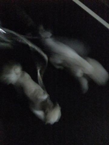 ビションフリーゼフントヒュッテこいぬ画像ビションフリーゼ子犬社会化性格血統チャンピオン犬東京ビションメス関東かわいいビションおとこのこ文京区出産情報ビション募集_970.jpg