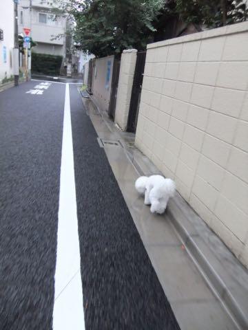 ビションフリーゼフントヒュッテこいぬ画像ビションフリーゼ子犬社会化性格血統チャンピオン犬東京ビションメス関東かわいいビションおとこのこ文京区出産情報ビション募集_981.jpg