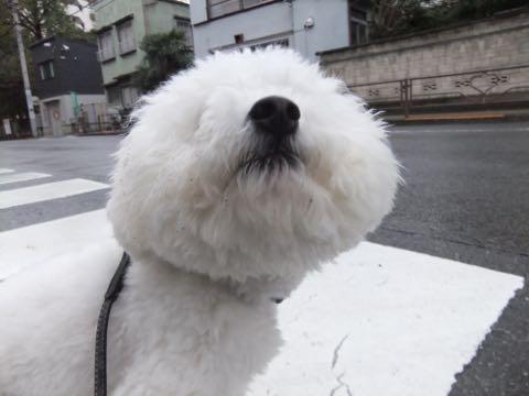 ビションフリーゼフントヒュッテこいぬ画像ビションフリーゼ子犬社会化性格血統チャンピオン犬東京ビションメス関東かわいいビションおとこのこ文京区出産情報ビション募集_984.jpg