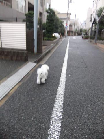 ビションフリーゼフントヒュッテこいぬ画像ビションフリーゼ子犬社会化性格血統チャンピオン犬東京ビションメス関東かわいいビションおとこのこ文京区出産情報ビション募集_987.jpg