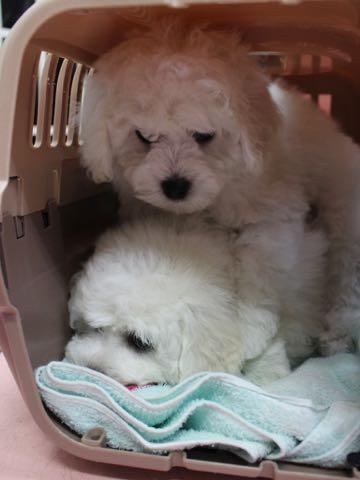 ビションフリーゼこいぬ情報フントヒュッテビションこいぬ画像子犬の社会化ビション赤ちゃんおんなのこかわいいビションフリーゼおとこのこ東京ビション出産情報性格ビション家族募集中_9