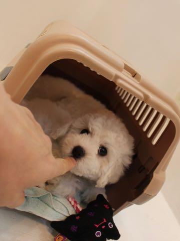 ビションフリーゼこいぬ情報フントヒュッテビションこいぬ画像子犬の社会化ビション赤ちゃんおんなのこかわいいビションフリーゼおとこのこ東京ビション出産情報性格ビション家族募集中_40