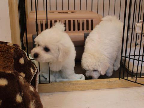 ビションフリーゼこいぬ情報フントヒュッテビションこいぬ画像子犬の社会化ビション赤ちゃんおんなのこかわいいビションフリーゼおとこのこ東京ビション出産情報性格ビション家族募集中_42