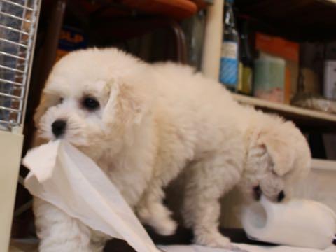 ビションフリーゼこいぬ情報フントヒュッテビションこいぬ画像子犬の社会化ビション赤ちゃんおんなのこかわいいビションフリーゼおとこのこ東京ビション出産情報性格ビション家族募集中_54