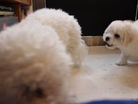 ビションフリーゼこいぬ情報フントヒュッテビションこいぬ画像子犬の社会化ビション赤ちゃんおんなのこかわいいビションフリーゼおとこのこ東京ビション出産情報性格ビション家族募集中_59