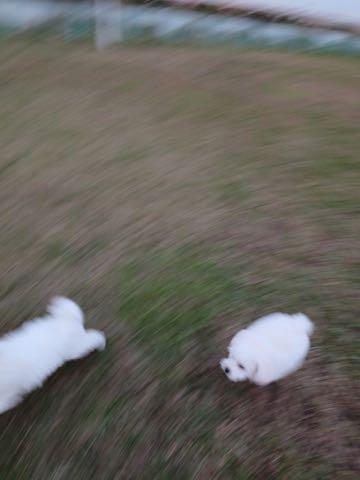 ビションフリーゼこいぬ情報フントヒュッテビションこいぬ画像子犬の社会化ビション赤ちゃんおんなのこかわいいビションフリーゼおとこのこ東京ビション出産情報性格ビション家族募集中_147