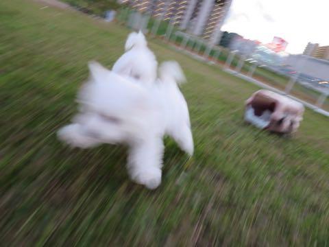 ビションフリーゼこいぬ情報フントヒュッテビションこいぬ画像子犬の社会化ビション赤ちゃんおんなのこかわいいビションフリーゼおとこのこ東京ビション出産情報性格ビション家族募集中_205