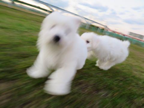 ビションフリーゼこいぬ情報フントヒュッテビションこいぬ画像子犬の社会化ビション赤ちゃんおんなのこかわいいビションフリーゼおとこのこ東京ビション出産情報性格ビション家族募集中_206