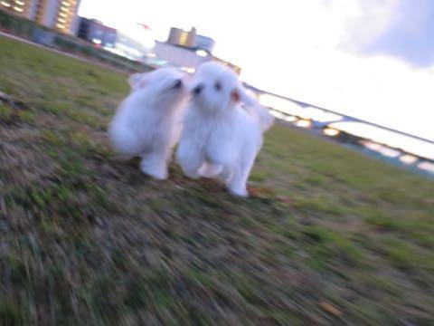 ビションフリーゼこいぬ情報フントヒュッテビションこいぬ画像子犬の社会化ビション赤ちゃんおんなのこかわいいビションフリーゼおとこのこ東京ビション出産情報性格ビション家族募集中_222