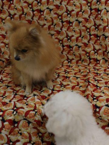 ビションフリーゼこいぬ情報フントヒュッテビションこいぬ画像子犬の社会化ビション赤ちゃんおんなのこかわいいビションフリーゼおとこのこ東京ビション出産情報性格ビション家族募集中_312