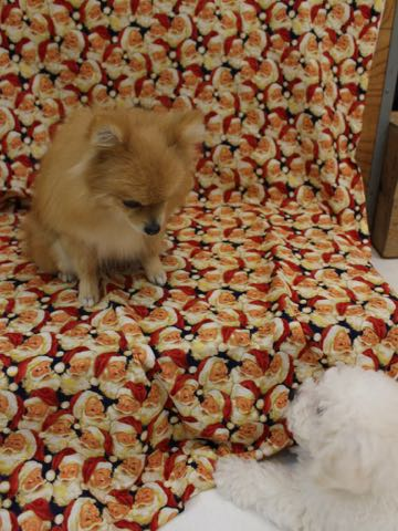 ビションフリーゼこいぬ情報フントヒュッテビションこいぬ画像子犬の社会化ビション赤ちゃんおんなのこかわいいビションフリーゼおとこのこ東京ビション出産情報性格ビション家族募集中_313