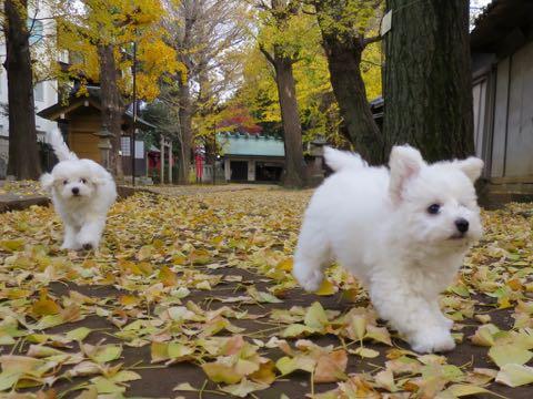 ビションフリーゼこいぬ情報フントヒュッテビションこいぬ画像子犬の社会化ビション赤ちゃんおんなのこかわいいビションフリーゼおとこのこ東京ビション出産情報性格ビション家族募集中_336_2