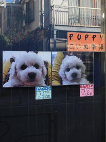 ビションフリーゼこいぬ情報フントヒュッテビションこいぬ画像子犬の社会化ビション赤ちゃんおんなのこかわいいビションフリーゼおとこのこ東京ビション出産情報性格ビション家族募集中_450
