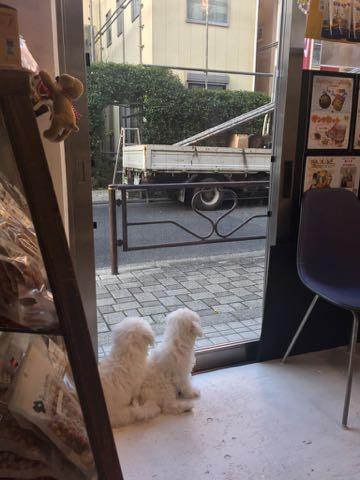 ビションフリーゼこいぬ情報フントヒュッテビションこいぬ画像子犬の社会化ビション赤ちゃんおんなのこかわいいビションフリーゼおとこのこ東京ビション出産情報性格ビション家族募集中_453