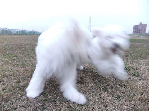 ビションフリーゼこいぬ情報フントヒュッテビションこいぬ画像子犬の社会化ビション赤ちゃんおんなのこかわいいビションフリーゼおとこのこ東京ビション出産情報性格ビション家族募集中_464