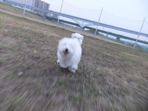 ビションフリーゼこいぬ情報フントヒュッテビションこいぬ画像子犬の社会化ビション赤ちゃんおんなのこかわいいビションフリーゼおとこのこ東京ビション出産情報性格ビション家族募集中_465