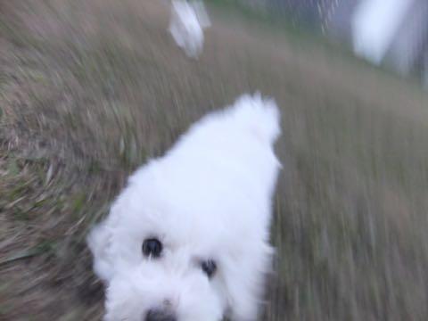 ビションフリーゼこいぬ情報フントヒュッテビションこいぬ画像子犬の社会化ビション赤ちゃんおんなのこかわいいビションフリーゼおとこのこ東京ビション出産情報性格ビション家族募集中_469