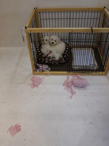 ビションフリーゼこいぬ情報フントヒュッテビションこいぬ画像子犬の社会化ビション赤ちゃんおんなのこかわいいビションフリーゼおとこのこ東京ビション出産情報性格ビション家族募集中_502