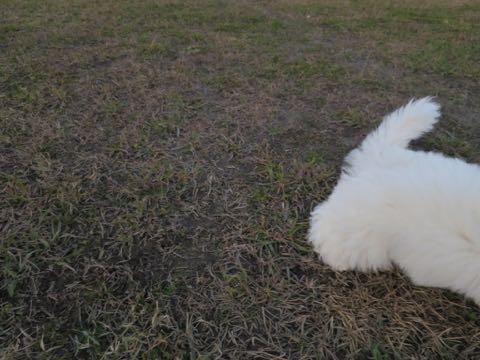 ビションフリーゼこいぬ情報フントヒュッテビションこいぬ画像子犬の社会化ビション赤ちゃんおんなのこかわいいビションフリーゼおとこのこ東京ビション出産情報性格ビション家族募集中_532