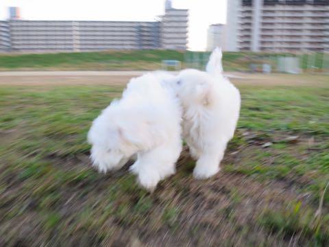 ビションフリーゼこいぬ情報フントヒュッテビションこいぬ画像子犬の社会化ビション赤ちゃんおんなのこかわいいビションフリーゼおとこのこ東京ビション出産情報性格ビション家族募集中_539