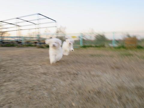 ビションフリーゼこいぬ情報フントヒュッテビションこいぬ画像子犬の社会化ビション赤ちゃんおんなのこかわいいビションフリーゼおとこのこ東京ビション出産情報性格ビション家族募集中_566
