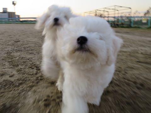 ビションフリーゼこいぬ情報フントヒュッテビションこいぬ画像子犬の社会化ビション赤ちゃんおんなのこかわいいビションフリーゼおとこのこ東京ビション出産情報性格ビション家族募集中_568