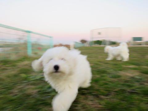 ビションフリーゼこいぬ情報フントヒュッテビションこいぬ画像子犬の社会化ビション赤ちゃんおんなのこかわいいビションフリーゼおとこのこ東京ビション出産情報性格ビション家族募集中_573