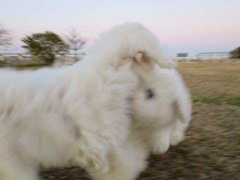 ビションフリーゼこいぬ情報フントヒュッテビションこいぬ画像子犬の社会化ビション赤ちゃんおんなのこかわいいビションフリーゼおとこのこ東京ビション出産情報性格ビション家族募集中_575