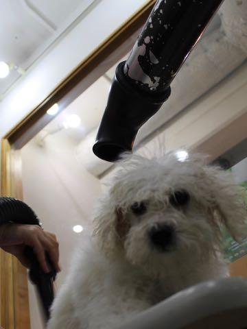 ビションフリーゼこいぬ情報フントヒュッテビションこいぬ画像子犬の社会化ビション赤ちゃんおんなのこかわいいビションフリーゼおとこのこ東京ビション出産情報性格ビション家族募集中_614