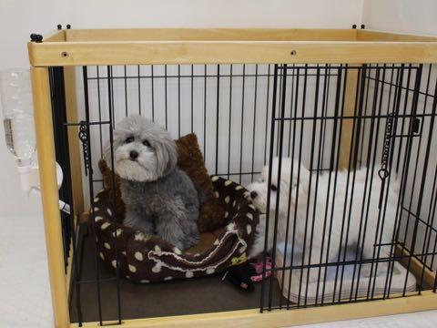 ビションフリーゼこいぬ情報フントヒュッテビションこいぬ画像子犬の社会化ビション赤ちゃんおんなのこかわいいビションフリーゼおとこのこ東京ビション出産情報性格ビション家族募集中_650