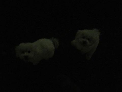 ビションフリーゼこいぬ情報フントヒュッテビションこいぬ画像子犬の社会化ビション赤ちゃんおんなのこかわいいビションフリーゼおとこのこ東京ビション出産情報性格ビション家族募集中_682