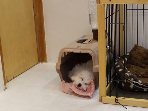 ビションフリーゼこいぬ情報フントヒュッテビションこいぬ画像子犬の社会化ビション赤ちゃんおんなのこかわいいビションフリーゼおとこのこ東京ビション出産情報性格ビション家族募集中_693