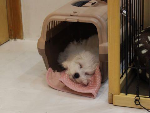 ビションフリーゼこいぬ情報フントヒュッテビションこいぬ画像子犬の社会化ビション赤ちゃんおんなのこかわいいビションフリーゼおとこのこ東京ビション出産情報性格ビション家族募集中_694