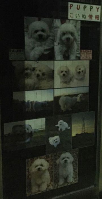 ビションフリーゼこいぬ情報フントヒュッテビションこいぬ画像子犬の社会化ビション赤ちゃんおんなのこかわいいビションフリーゼおとこのこ東京ビション出産情報性格ビション家族募集中_696