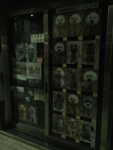 ビションフリーゼこいぬ情報フントヒュッテビションこいぬ画像子犬の社会化ビション赤ちゃんおんなのこかわいいビションフリーゼおとこのこ東京ビション出産情報性格ビション家族募集中_697