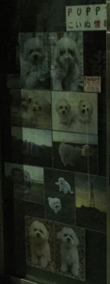 ビションフリーゼこいぬ情報フントヒュッテビションこいぬ画像子犬の社会化ビション赤ちゃんおんなのこかわいいビションフリーゼおとこのこ東京ビション出産情報性格ビション家族募集中_698