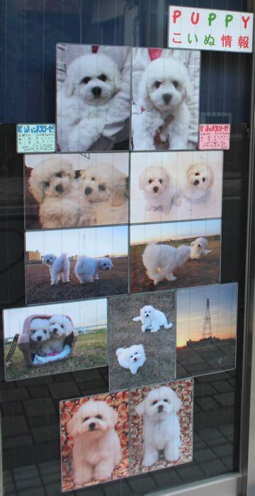 ビションフリーゼこいぬ情報フントヒュッテビションこいぬ画像子犬の社会化ビション赤ちゃんおんなのこかわいいビションフリーゼおとこのこ東京ビション出産情報性格ビション家族募集中_700