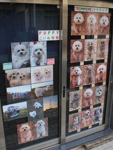 ビションフリーゼこいぬ情報フントヒュッテビションこいぬ画像子犬の社会化ビション赤ちゃんおんなのこかわいいビションフリーゼおとこのこ東京ビション出産情報性格ビション家族募集中_699b