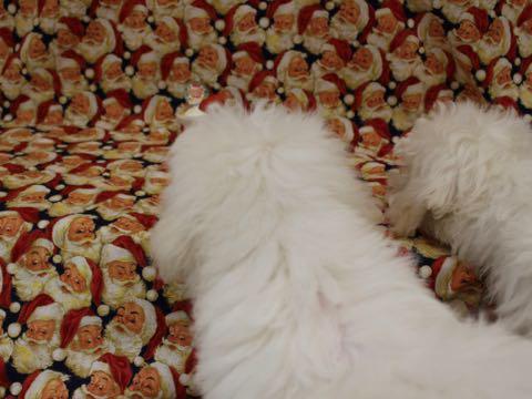 ビションフリーゼこいぬ情報フントヒュッテビションこいぬ画像子犬の社会化ビション赤ちゃんおんなのこかわいいビションフリーゼおとこのこ東京ビション出産情報性格ビション家族募集中_701